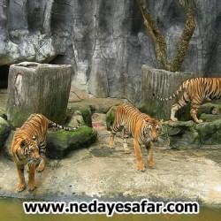 باغ وحش ببرها پاتایا ، تایلند پاتایا